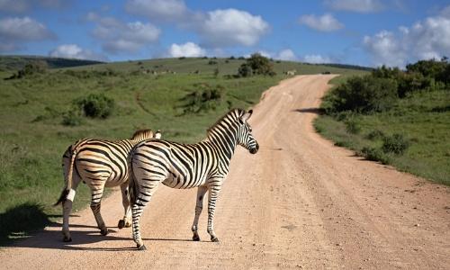 zèbres-afrique-du-sud